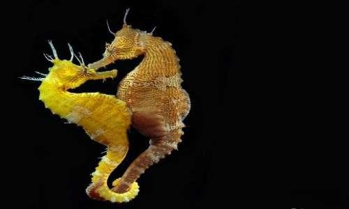 La femmina di cavalluccio marino depone le uova nella tasca ventrale del maschio, dando vita ad una gravidanza maschile.