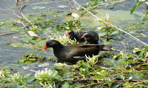 La gallinella d'acqua è solita trasportare i suoi pulcini sul dorso nei primi momenti della loro vita.