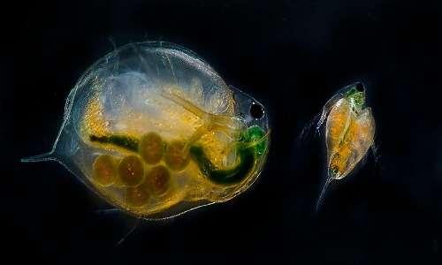 I piccoli nati dalla schiusa delle uova delle pulci d'acqua appaiono come piccoli adulti e non passano per uno stadio di nauplia o di larva.