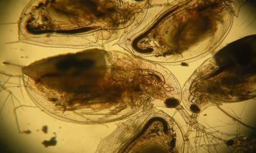 Le pulci d'acqua sono crostacei cladoceri del genere Daphnia.