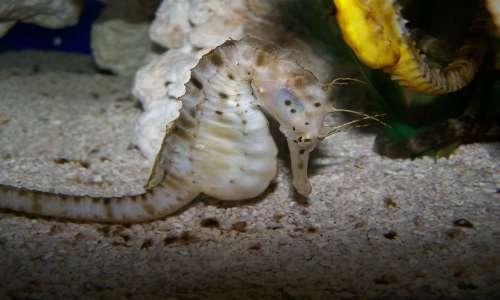 La gravidanza maschile è possibile in natura solo nei cavallucci marini.
