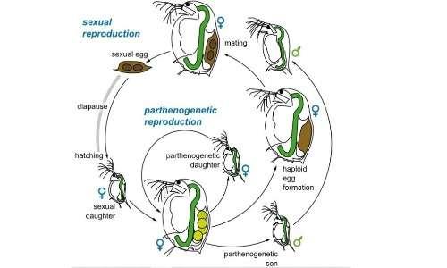 Schema di un ciclo riproduttivo per partenogenesi riproduttiva delle pulci d'acqua.