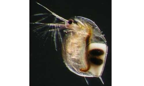 Nella fase di riproduzione sessuata le pulci d'acqua producono uova durature.