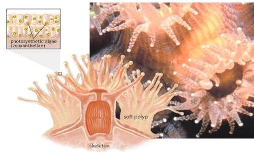 Lo sbiancamento dei coralli è la perdita di simbiosi tra alghe e polipi.i.