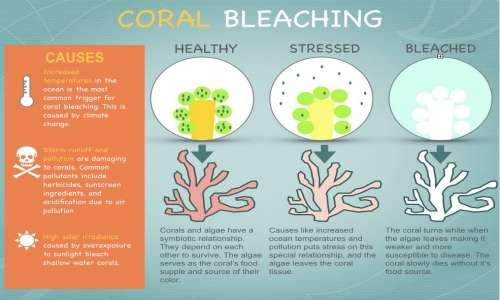 Lo sbiancamento dei coralli è la perdita di simbiosi con le alghe.
