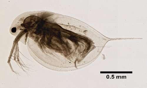 Altra specie di pulci d'acquamolto utilizzata in ambito laboratoriale ecotossicologico è Daphnia longispina.