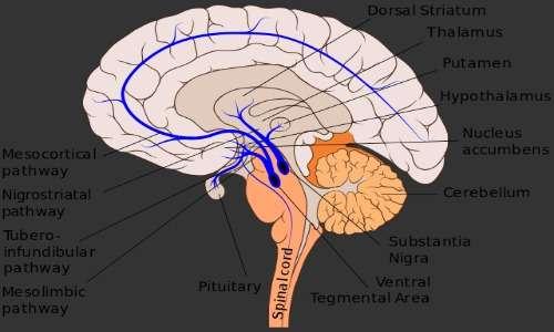 La dipendenza affettiva è causata da una presenza anomala e una scarsa sensibilità al neurotrasmettitore dopamina.