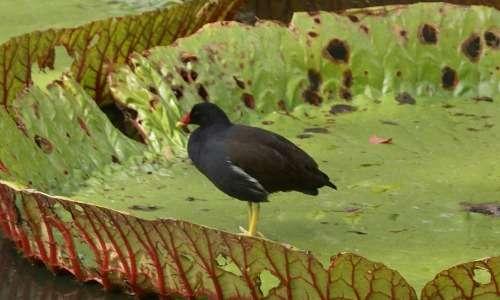 La sottospecie pyrrhorrhoaè una varietà di gallinella d'acqua presente in alcune isole dell'oceano indiano occidentale, tra cui Mauritius e Madagascar.