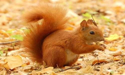 Lo scoiattolo rosso è una specie di scoiattolo rosso molto comune. Il suo peso e la sua altezza sono nelle media: 20 cm circa di lunghezza e circa 300/400 g di peso.