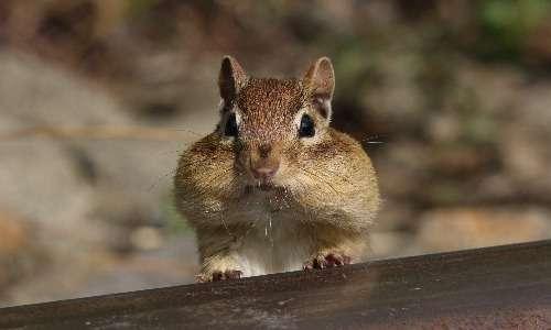 Lo scoiattolo occidentale, o Tamias striatus, è una specie di scoiattolo del Nord America.