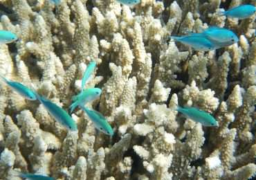 Lo sbiancamento dei coralli è la perdita di pigmentazione dei polipi.