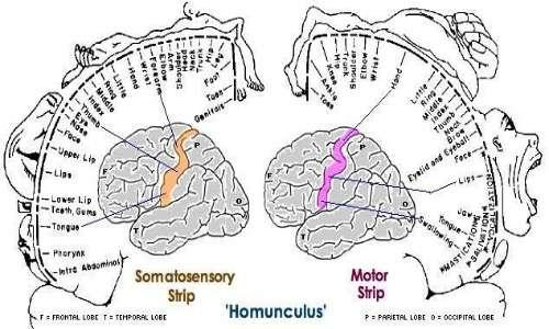 All'interno dell'homunculus corticale avviene la riorganizzazione corticale dovuta dalla plasticità neurale nei pazienti affetti da sindrome dell'arto fantasma.