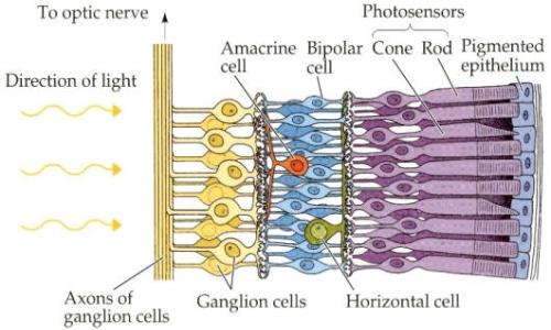 Importante conoscere l'anatomia per il posizionamento della protesi retinica.