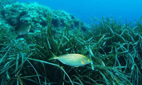 La Posidonia oceanica è una fanerogama marina che ospita numerose specie marine.