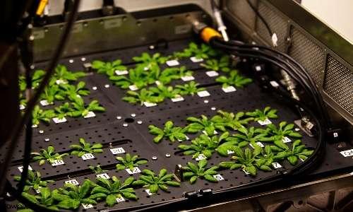 Arabidopsis thaliana è certamente la specie più ampiamente utilizzata per gli studi di fisiologia vegetale, sia per quanto riguarda gli studi che permisero la comprensione del processo di fotosintesi clorofilliana che riguardo altre svariate funzioni fisiologiche delle piante.
