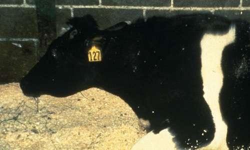 La malattia di Creutzfeldt-Jakob può essere causata dall'assunzione di carne di bovini affetti da BSE