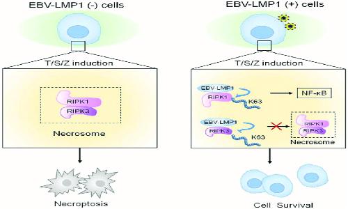 Il virus della mononucleosi interferisce con l'apoptosi della cellula