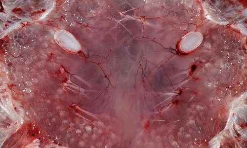 L'elettroricezione squali avviene mediante le ampolle di Lorenzini, collegate tramite una rete di fibre nervose.