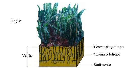 La Posidonia oceanica è una pianta marina con radici, fusto e foglie che ha una particolare struttura della matte.