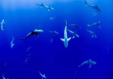 L'elettroricezione squali permette l'identificazione dei campi elettrici generati da animali presenti nell'ambiente circostante.
