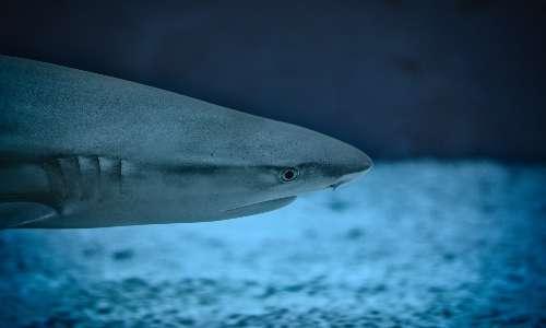 L'elettroricezione squali è la capacità di percepire i campi elettrici generati da altri animali.