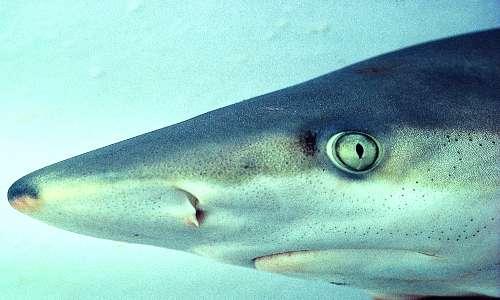 L'elettroricezione squali è possibile grazie alle ampolle di Lorenzini, visibili anche all'esterno grazie ai pori esterni.