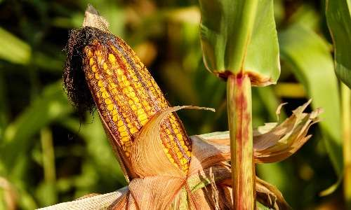 Il mais, assieme alla canna da zucchero e a numerose altre specie vegetali, è una pianta che sfrutta un ciclo del carbonio C4. Questo tipo di fotosintesi clorofilliana permette alle piante di ottimizzare il loro metabolismo anche presso climi caldi, senza che venga meno l'efficienza fotosintetica.