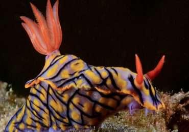 I nudibranchi sono molluschi gasteropodi caratterizzati dall'assenza di conchiglia.