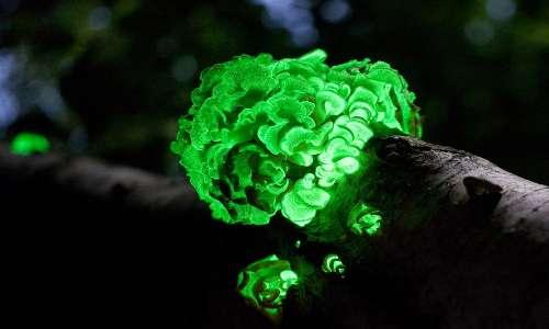 Il fungo Panellus stipticus ha una bioluminescenza verde che rende ben visibile di notte gruppi di questo tipo di funghi.