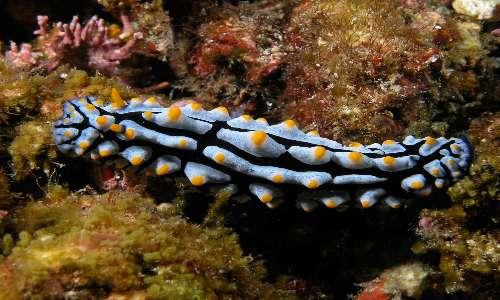 I nudibranchi sono molluschi marini colorati e sprovvisti di conchiglia.