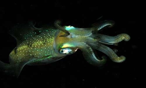 Il calamaro Abralia verany ha una caratteristica bioluminescenza che lo rende ben riconoscibile in mare anche di notte.