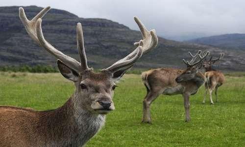 Il cervo rosso, anche detto cervo nobile, è il più grande ungulato italiano.
