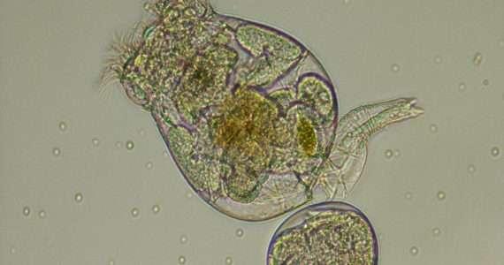 I rotiferi sono piccoli animali acquatici partenogenetici.