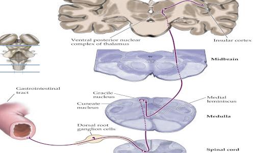 quando fa male il fegato? le vie sensitive degli organi interni