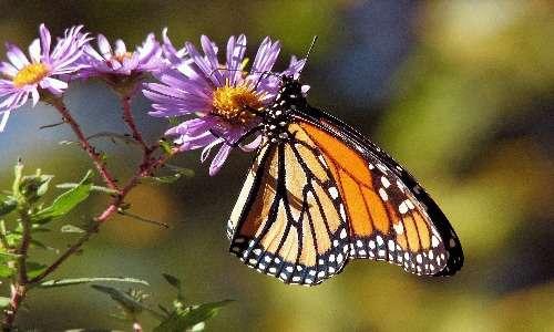 Le farfalle sono insetti lepidotteri e quindi appartengono al phylum degli artropodi.