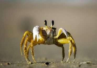 Gli artropodi sono animali fra cui compaiono crostacei e chelicerati.