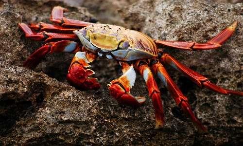 I granchi sono artropodi. Si tratta di animali che fanno parte del subphylum dei crostacei.