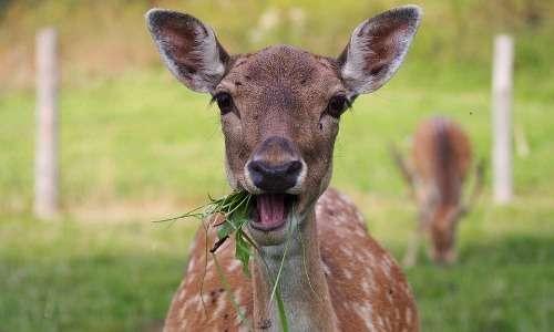 Gli esemplari più giovani di cervo rosso hanno un manto pomellato che permette loro di nascondersi meglio dai predatori.
