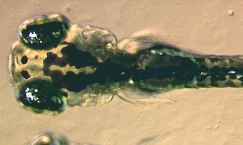 Parte cefalica di un embrione di Danio rerio.