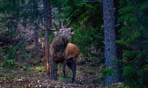 Esemplare di cervo rosso norvegese.