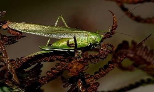 La cavalletta fa parte del phylum degli artropodi.