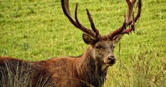 Il cervo rosso è il più grande ungulato italiano