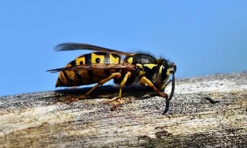 Api, vespe e calabroni sono artropodi appartenenti alla classe degli Insetti.