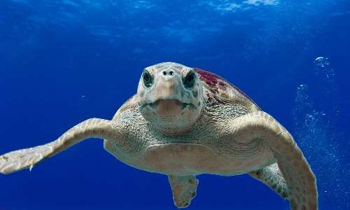 La tartaruga Caretta caretta è fra le specie avvistabili nel Santuario dei cetacei.
