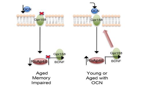 l'steocalcina si lega al recettore gpr158 dove esplica le sue funzioni più importanti.