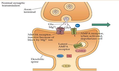 L'osteocalcina aumenta la proteina RbAp48 che aumenta la produzione di CREB, rafforzando la LTP