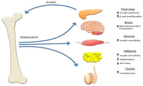 L'osteocalcina, ormone prodotto dall'osso è responsabile di molte funzioni nel nostro organismo