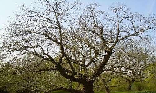 Durante il 19º secolo, quando il gas era usato per illuminare le strade, si osservava che gli alberi in prossimità dei lampioni stradali perdevano le foglie più velocemente di altri alberi.