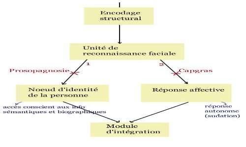 sindrome di Capgras e prosopagnosia: le disconnessioni a livello cerebrale coinvolgono vie diverse.