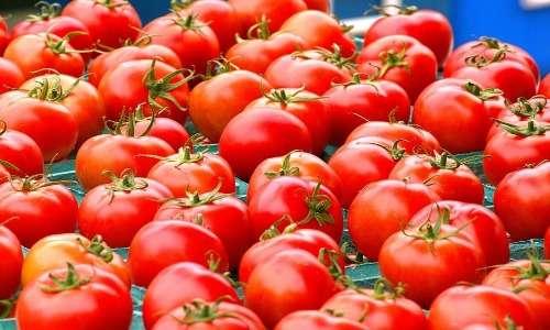 I pomodori sono frutti climaterici e maturano in risposta all'etilene.